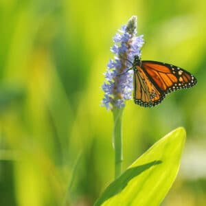 A monarch gathers nectar from blooming pickerweed at Envirnmental Concern.