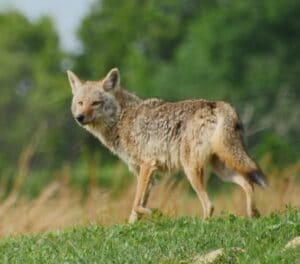 Coyote in a field