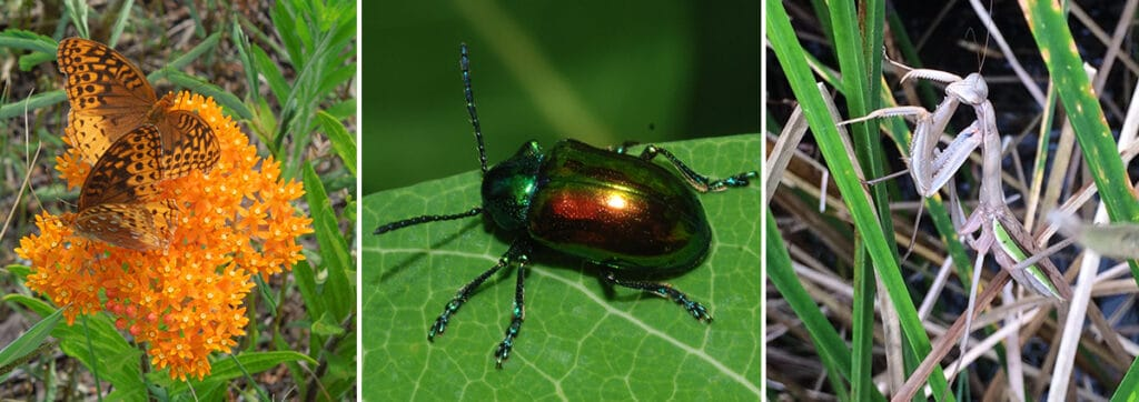 Three photos of insects on plants: Two orange and black butterflies, an iridescent beetle and a white mantis